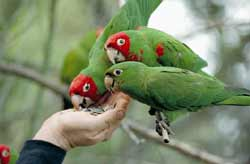 The Wild Parrots of Telegraph Hill Movie Still